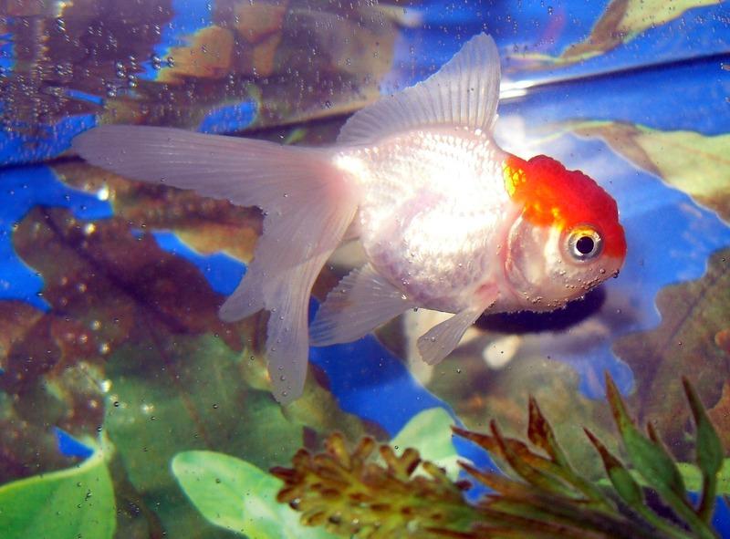 Variedades de Goldfish (Carassius Auratus) ef4e0b7babd
