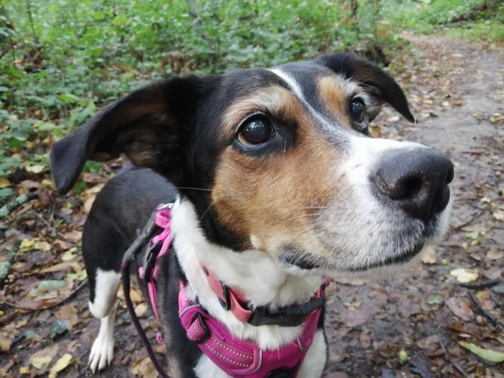 Bella, X beagle 10 ans, par Coyotl Img_2537