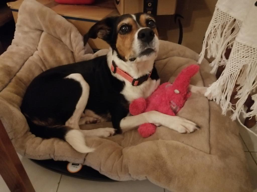Bella, X beagle 10 ans, par Coyotl Img_2543