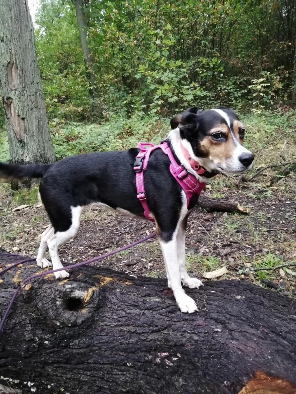 Bella, X beagle 10 ans, par Coyotl Img_2545