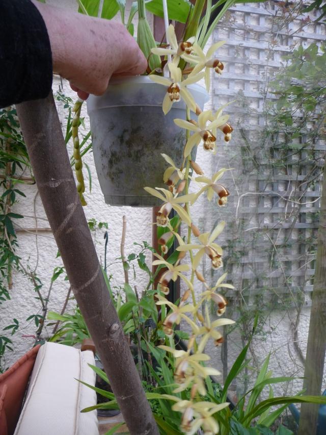 Coelogyne tomentosa 06-04-16