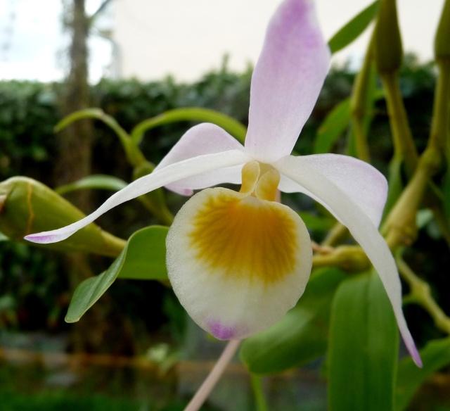 Dendrobium findlayanum 19-04-12