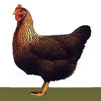 la poule Welsumer Poule10