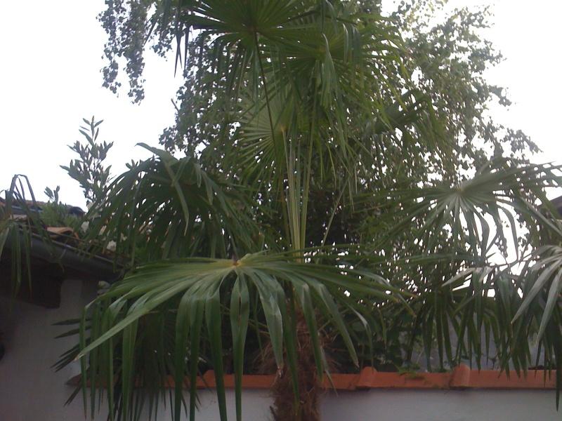 Trachycarpus fortunei feuilles pliées SOS Img110