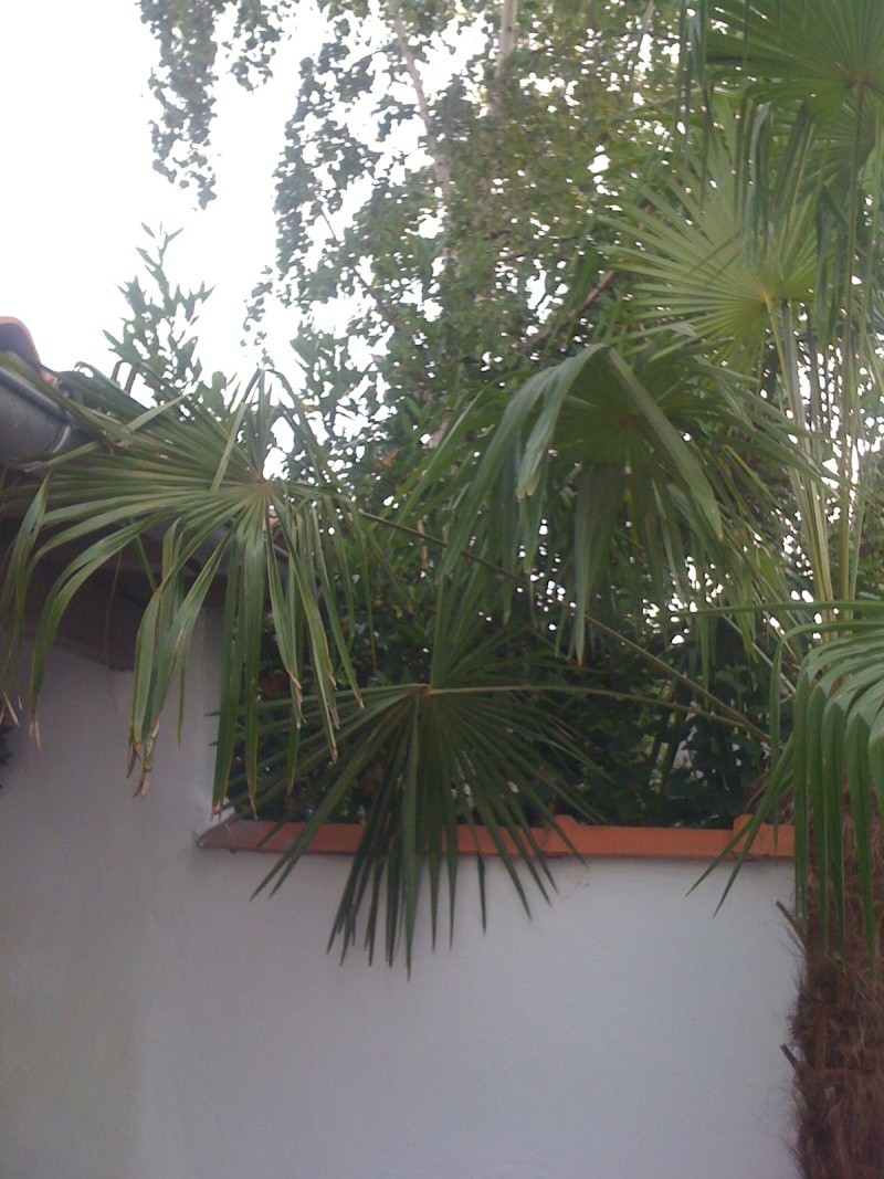 Trachycarpus fortunei feuilles pliées SOS Img210