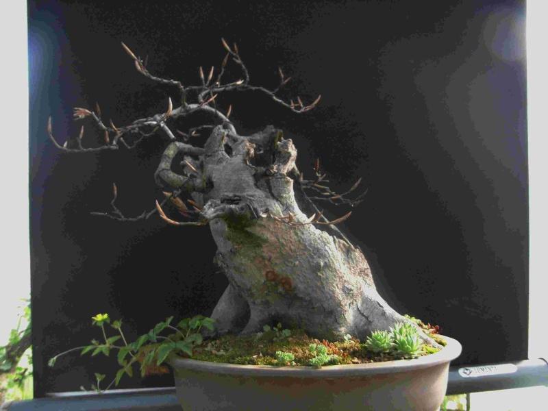 Fagus sylvativa «The Nest» Rimg0110