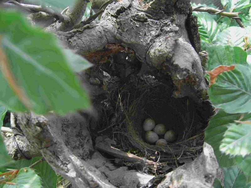 Fagus sylvativa «The Nest» Rimg0112