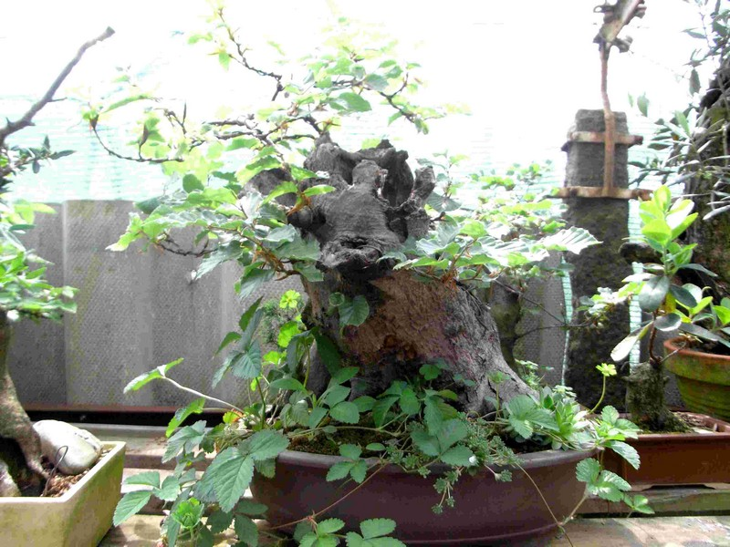 Fagus sylvativa «The Nest» Rimg0113