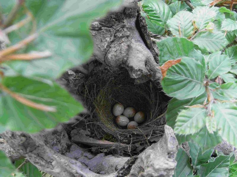 Fagus sylvativa «The Nest» Rimg0114
