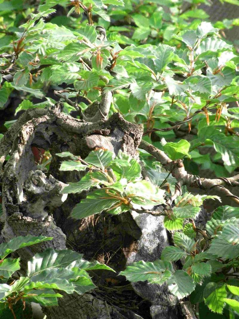 Fagus sylvativa «The Nest» Rimg0115