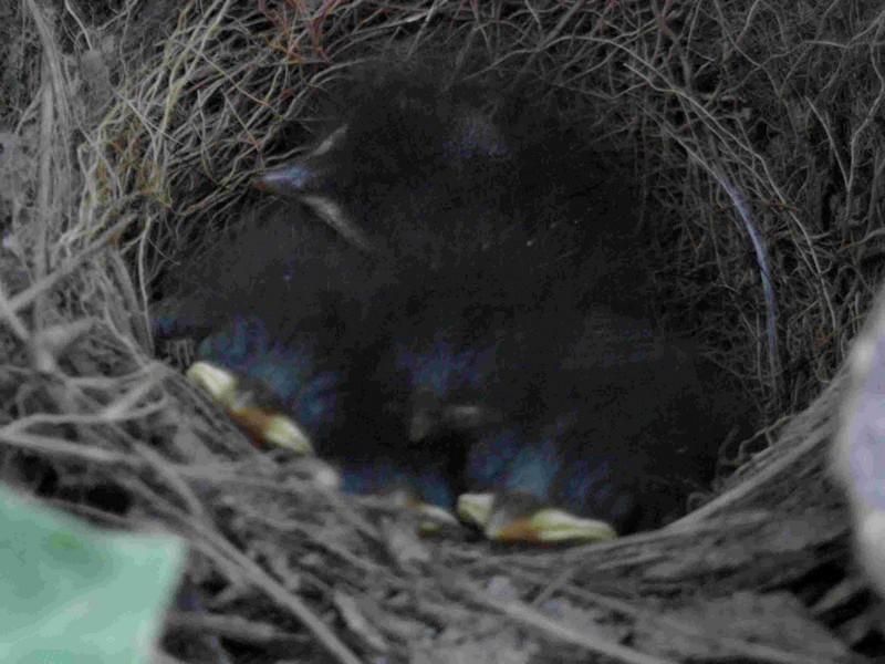 Fagus sylvativa «The Nest» Rimg0117