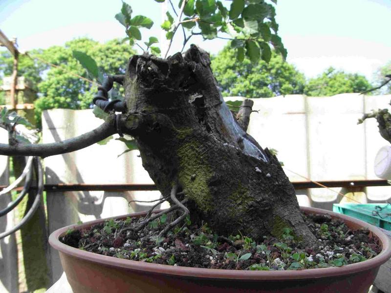 Fagus sylvativa «The Nest» Rimg0118