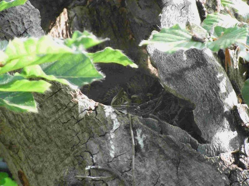 Fagus sylvativa «The Nest» Rimg0211