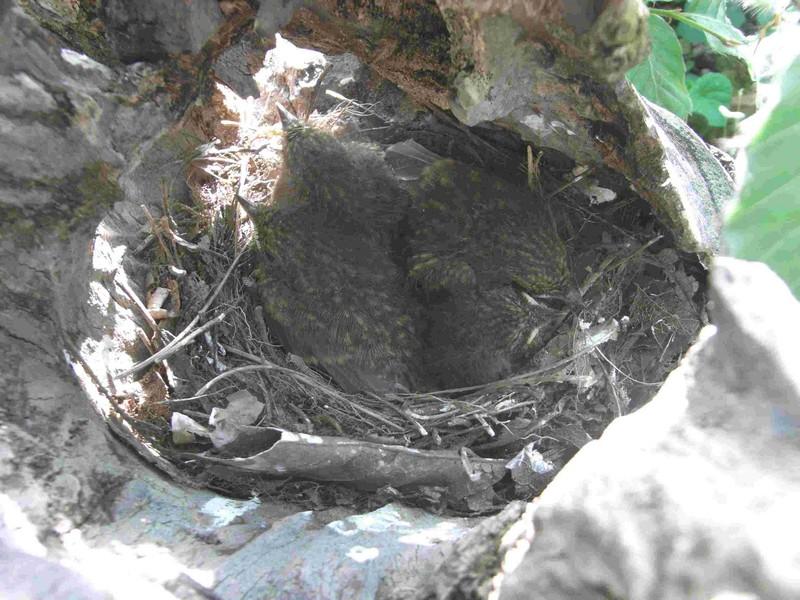 Fagus sylvativa «The Nest» Rimg0212