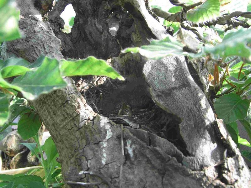 Fagus sylvativa «The Nest» Rimg0215