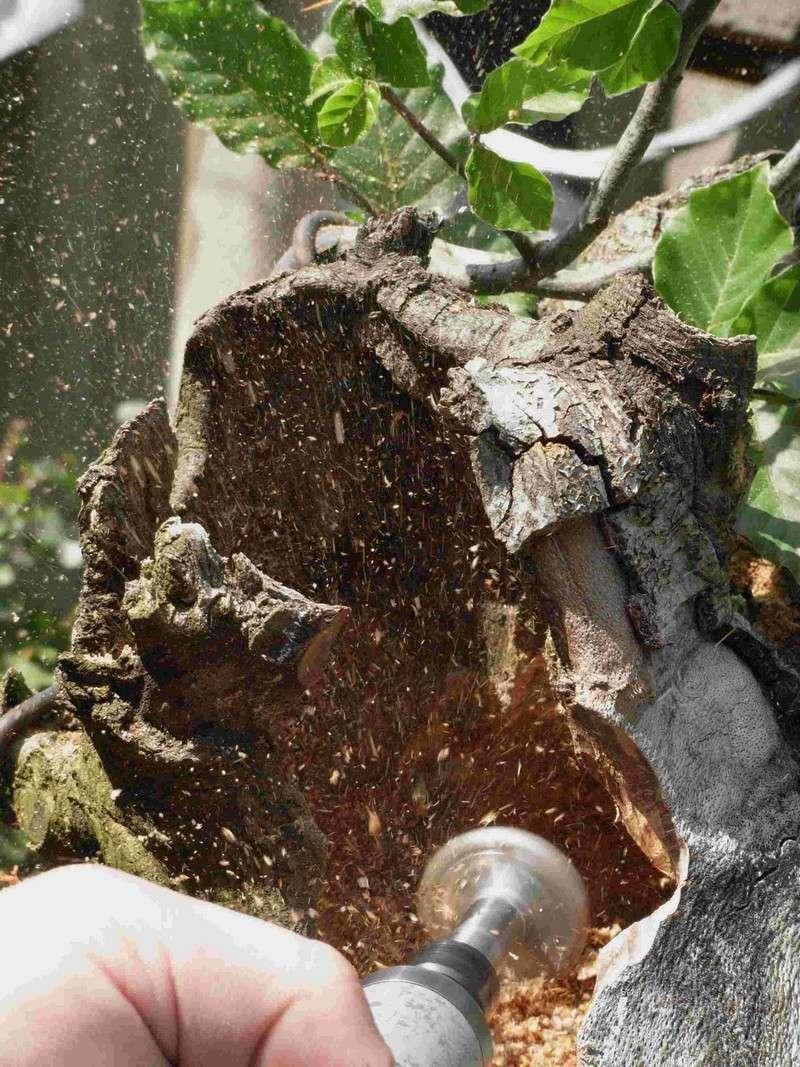 Fagus sylvativa «The Nest» Rimg0217