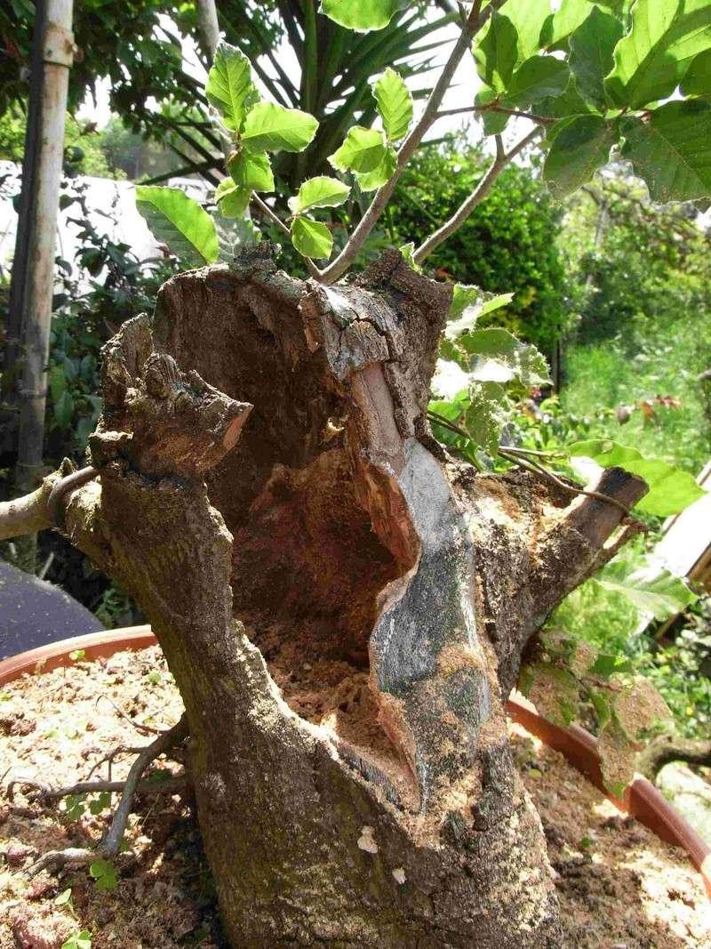 Fagus sylvativa «The Nest» Rimg0218