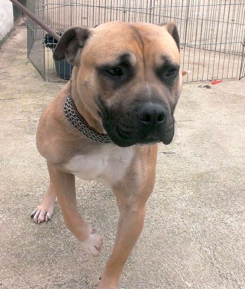 Bruce 1-2 yrs staffie x such a friendly lad with bad scaring on back  SAFE Bruce10