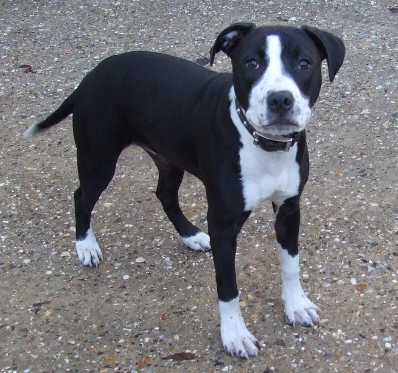 Meet  Layla collie x staffie needs a rescue only a baby  SAFE Layla10
