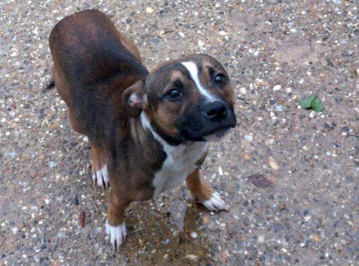 Macey 1 year old staffie girl so beautiful needs rescue  SAFE Macy_r10