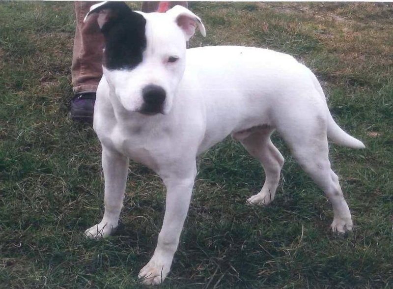 Patch pup staffie 6 months needs rescue if place cant be found PTS day 30  SAFE Yes! Patch10