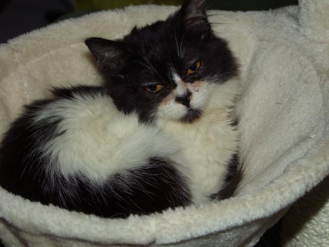 POLOCHON - 7 mois - Mâle angora noir et blanc croisé persan Dscf4410