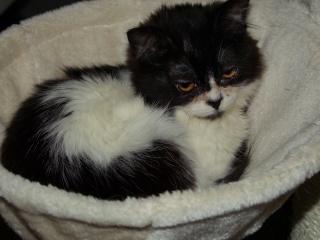 POLOCHON - 7 mois - Mâle angora noir et blanc croisé persan Dscf4412