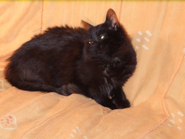 CASHEMIRE - 7 mois - Femelle angora noire croisée persan Dscf4510