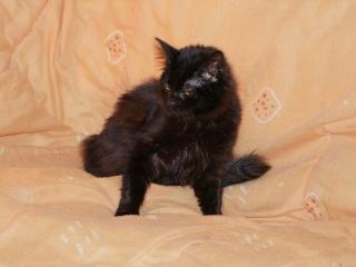 CASHEMIRE - 7 mois - Femelle angora noire croisée persan Dscf4511