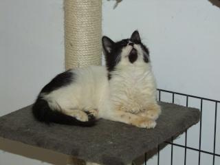 POLOCHON - 7 mois - Mâle angora noir et blanc croisé persan Dscf4615