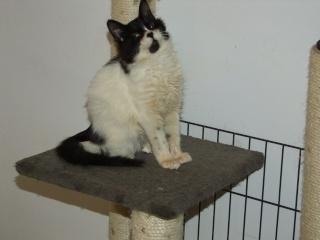 POLOCHON - 7 mois - Mâle angora noir et blanc croisé persan Dscf4616