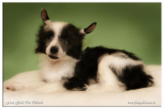Выбор щенка Китайской хохлатой собачки _dsc7110