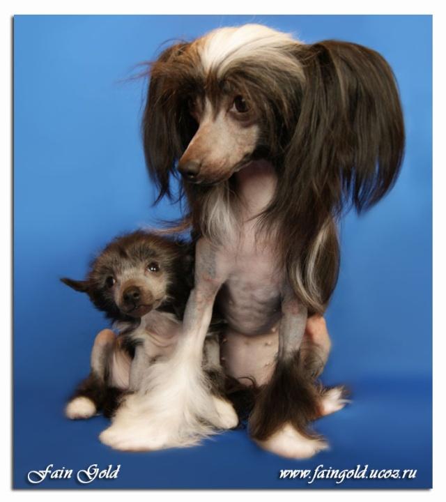 Выбор щенка Китайской хохлатой собачки _dsc7210