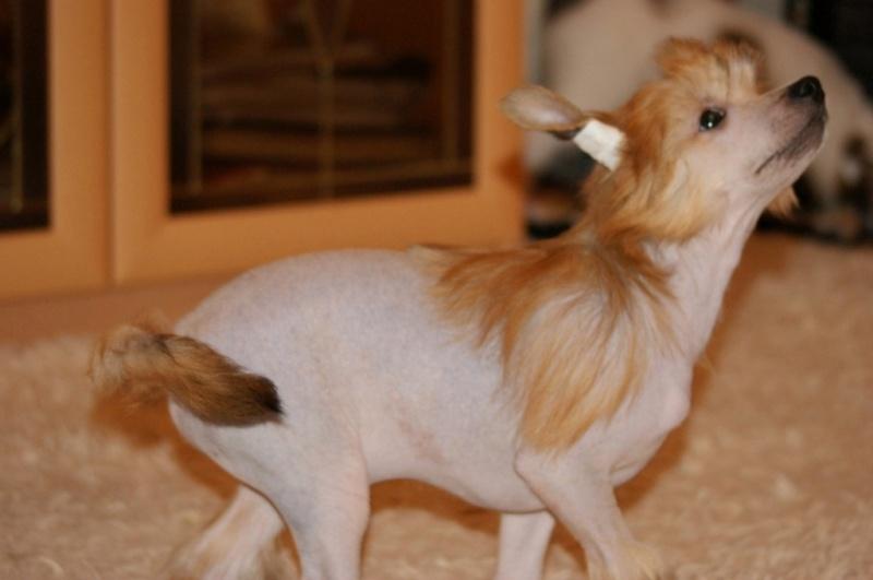 Продаются очаровательные щенки Китайской Хохлатой собаки от титулованных родителей, чемпионов Dsc00921