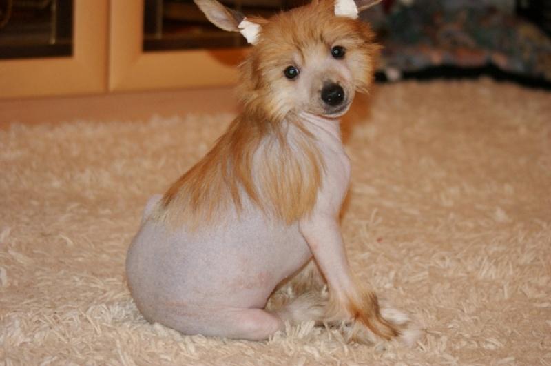 Продаются очаровательные щенки Китайской Хохлатой собаки от титулованных родителей, чемпионов Dsc00922