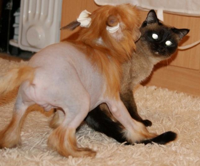 Продаются очаровательные щенки Китайской Хохлатой собаки от титулованных родителей, чемпионов Dsc00923