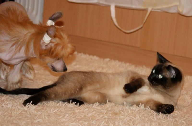 Продаются очаровательные щенки Китайской Хохлатой собаки от титулованных родителей, чемпионов Dsc00924