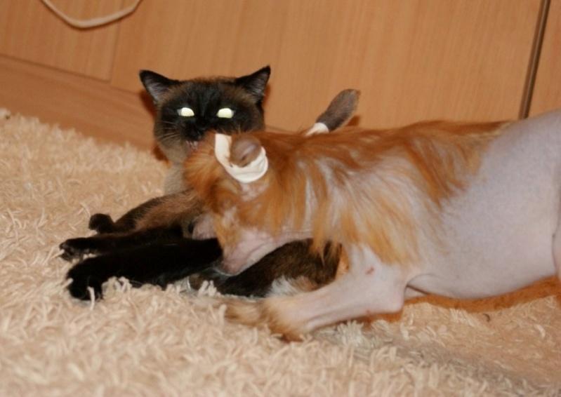 Продаются очаровательные щенки Китайской Хохлатой собаки от титулованных родителей, чемпионов Dsc00925