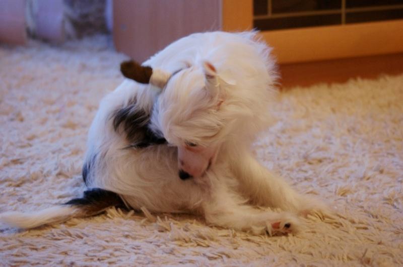 Продаются очаровательные щенки Китайской Хохлатой собаки от титулованных родителей, чемпионов Dsc00926