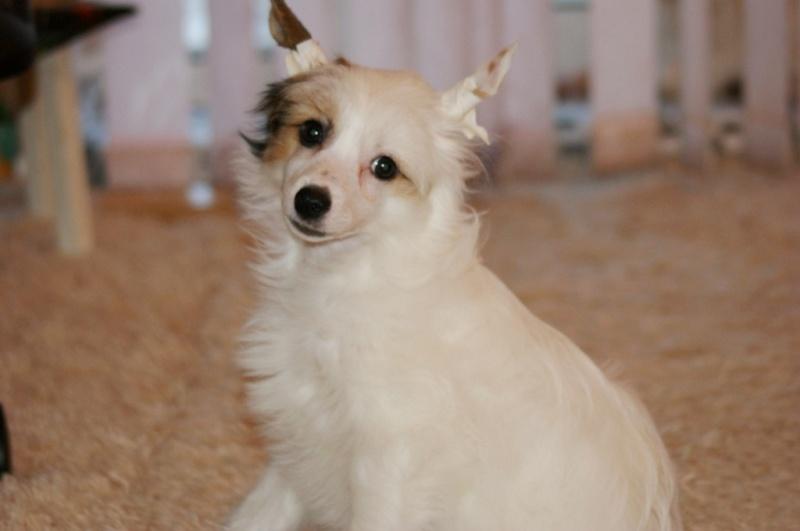 Продаются очаровательные щенки Китайской Хохлатой собаки от титулованных родителей, чемпионов Dsc00927
