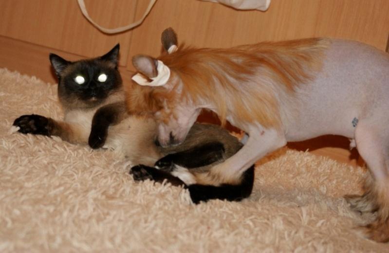 Продаются очаровательные щенки Китайской Хохлатой собаки от титулованных родителей, чемпионов Dsc01022
