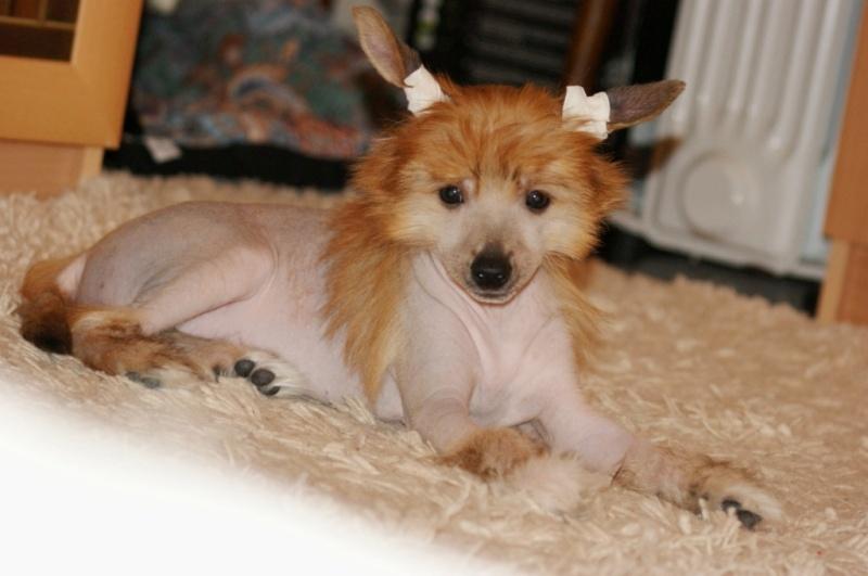 Продаются очаровательные щенки Китайской Хохлатой собаки от титулованных родителей, чемпионов Dsc01023