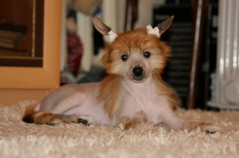 Продаются очаровательные щенки Китайской Хохлатой собаки от титулованных родителей, чемпионов Dsc01024