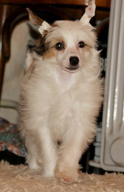 Продаются очаровательные щенки Китайской Хохлатой собаки от титулованных родителей, чемпионов Dsc01028