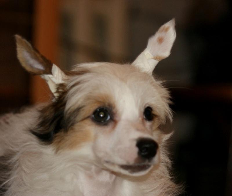 Продаются очаровательные щенки Китайской Хохлатой собаки от титулованных родителей, чемпионов Dsc01029
