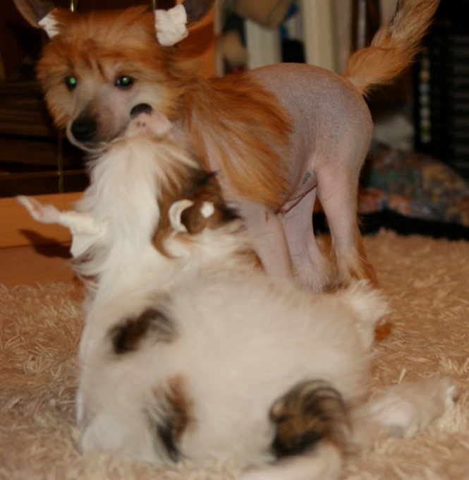 Продаются очаровательные щенки Китайской Хохлатой собаки от титулованных родителей, чемпионов Dsc01033