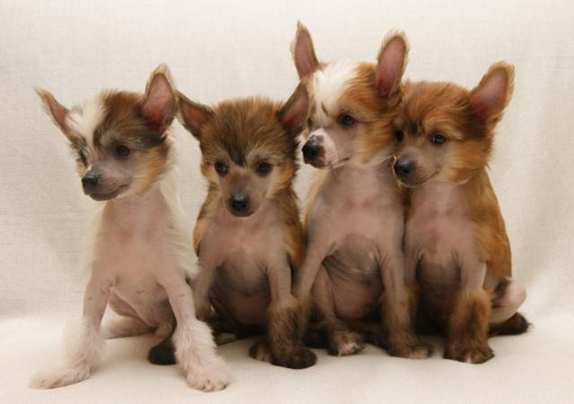 Выбор щенка Китайской хохлатой собачки Dsc03610
