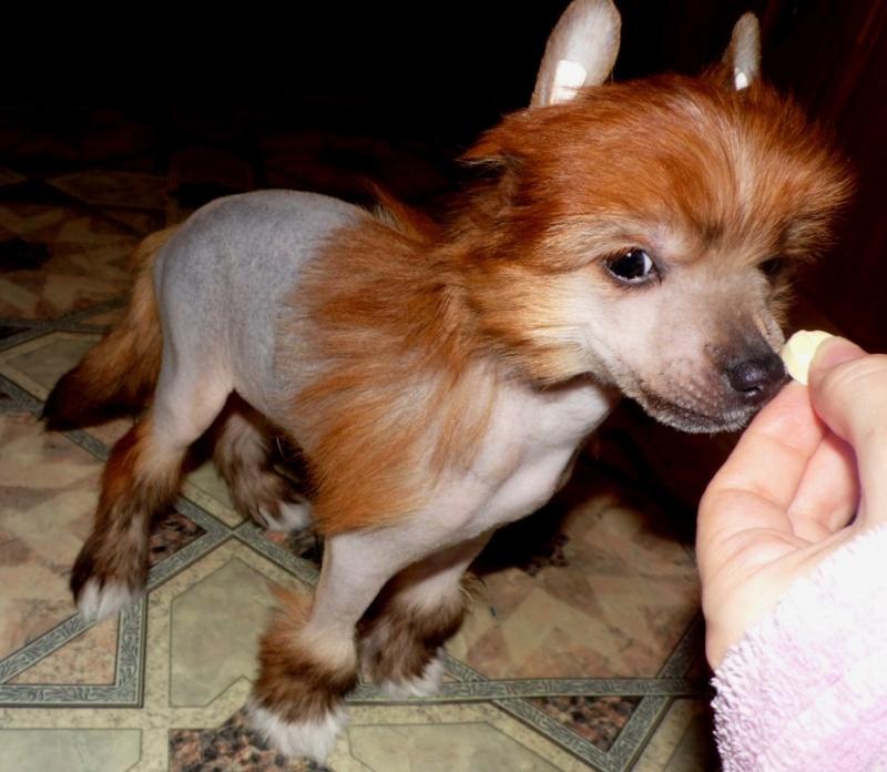 Продаются очаровательные щенки Китайской Хохлатой собаки от титулованных родителей, чемпионов Sam_0713