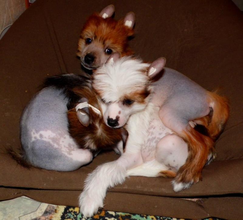 Продаются очаровательные щенки Китайской Хохлатой собаки от титулованных родителей, чемпионов Sam_0716