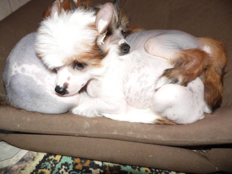 Продаются очаровательные щенки Китайской Хохлатой собаки от титулованных родителей, чемпионов Sam_0717